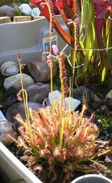 Fiche de culture du drosera capensis