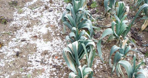 Le potager en hiver