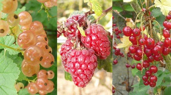 Quels arbustes à petits fruits planter ?
