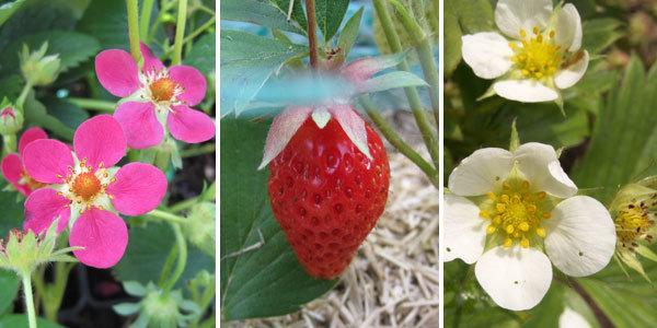 Des fraises goûteuses, sucrées, juteuses et parfumées