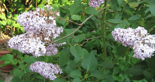 Vie d'un arbuste à fleurs de printemps sur une année