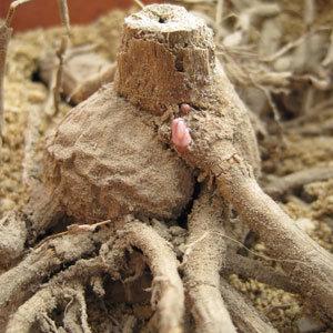 Si présence de bourgeons sur le tubercule de dahlia