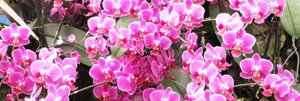 Fiches orchidée