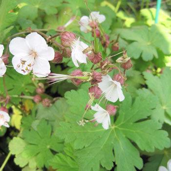 Géranium macrorrhizum 'Spessart'