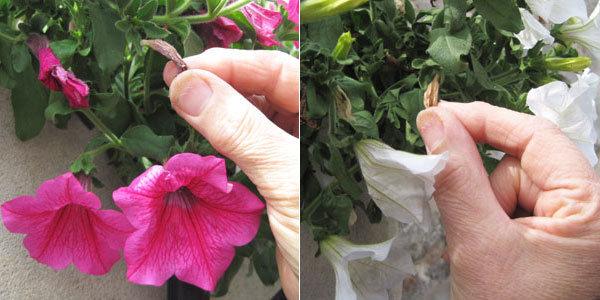 Geste précis pour avoir des fleurs tout l'été