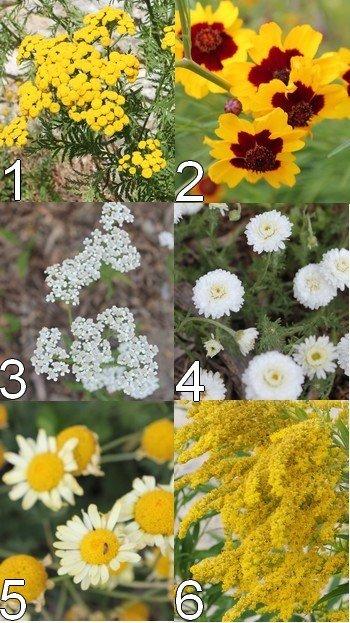 Des plantes tinctoriales