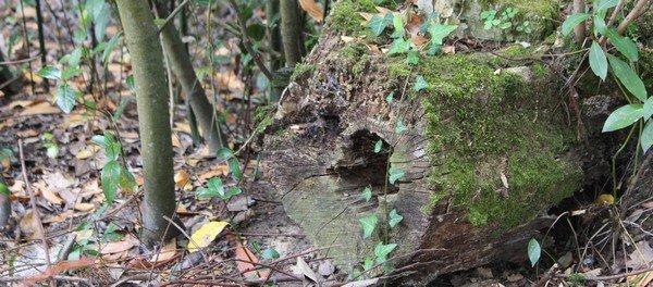 Une souche de bois