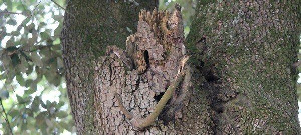 Un arbre creusé