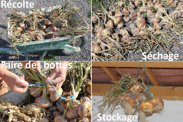 Oignon : de la récolte au stockage