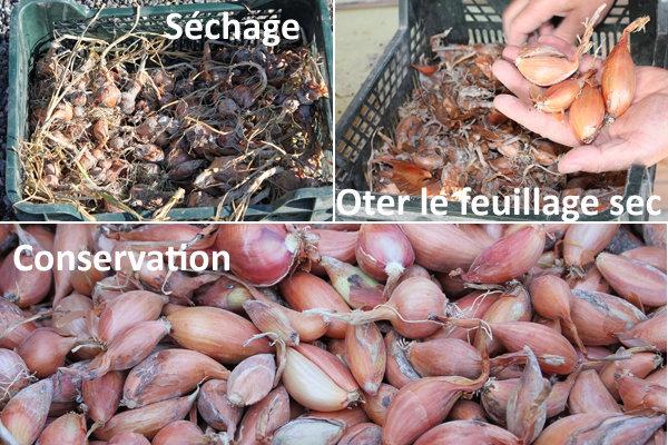 Echalote : de la récolte au stockage