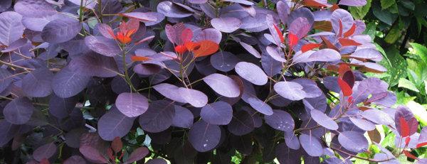 Vie d'un arbuste à fleurs d'été sur une année
