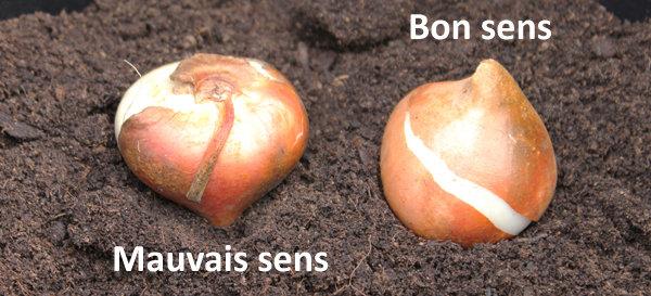Dans quel sens planter les bulbes ?