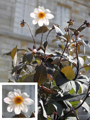 TROPHÉE DANS LA CATÉGORIE PLANTES VIVACES / bulbeuses : dahlia 'Twining After Eight'