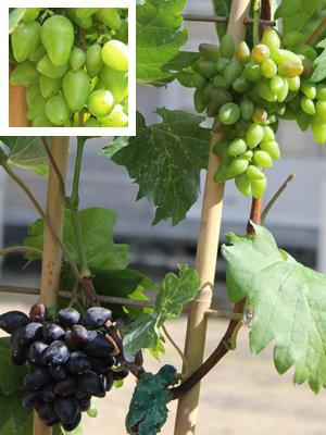 TROPHÉE DANS LA CATÉGORIE PLANTES GRIMPANTES : vitis vinifera 'Philipp'