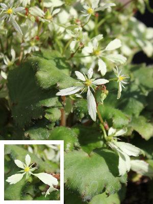 Prix de la SNHF : saxifrage fortunei var. incisolobata 'Setomidori'