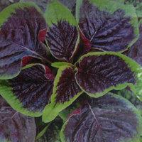 Des graines d'amarante à feuilles rouges