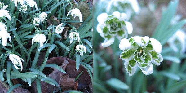 Floraison au printemps prochain