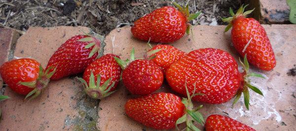 Le semis de fraisiers