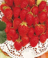 Graines de fraisier F1 Fresca