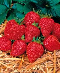 Graines de fraisier Elan