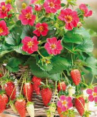 Graines de fraisier Tristan