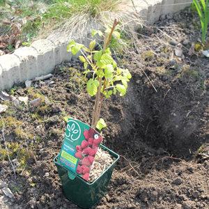 Creuser le trou de plantation