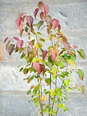 Trophée dans la catégorie arbres et arbustes : Poliothyrsis sinensis