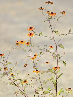 Trophée dans la catégorie plantes vivaces / bulbeuses : Rudbeckia triloba 'Prairie Glow'