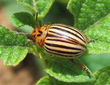 Un doryphore adulte - Un des ennemis de la pomme de terre