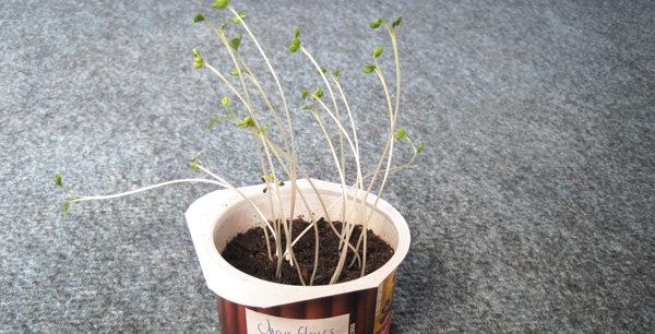 J+14 : entre pousses et jeunes plants