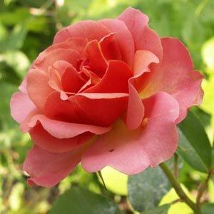 Rosier 'Jean Cocteau' ® Meikokan