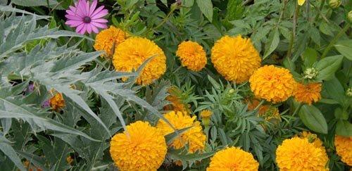 Mai Semis Et Plantations De Fleurs