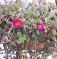 Quelques conseils pour débutantes: ( jardinage ) 168_pourpier_a_grandes_fleurs_portulaca_grandiflora-2