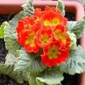 Primula vulgaris - Primevère
