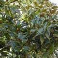 Magnolia grandiflora - Magnolia à grandes fleurs